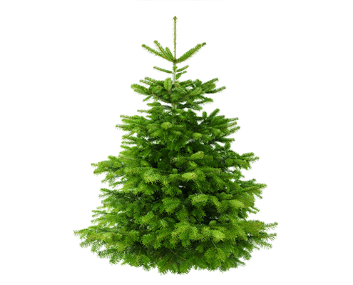 Nordmanntannen in Premiumqualität beim Weihnachtsbaumverkauf im Kreis Recklinghausen