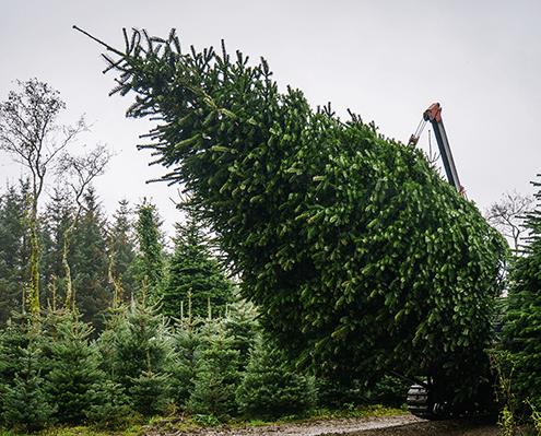 Weihnachtsbäume frisch und in jeder Größe