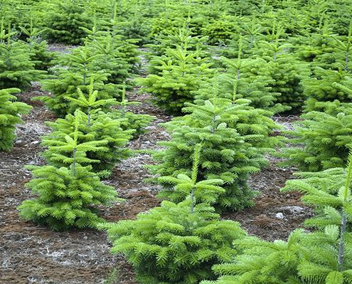 Weihnachtsbäume aus der Schonung frisch zum Verkauf