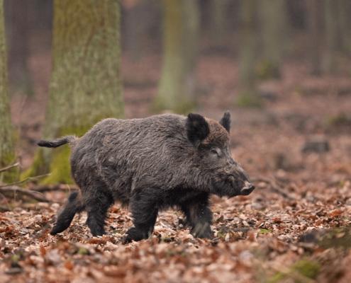 Wildfleisch vom Wildschwein direkt vom Jäger in Oer-Erkenschwick Haard