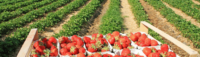 frische Erdbeeren direkt vom Feld in Oer-Erkenschwick im Kreis Recklinghausen