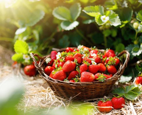 Korb mit frischen Erdbeeren direkt vom Feld in Oer-Erkenschwick im Kreis Recklinghausen