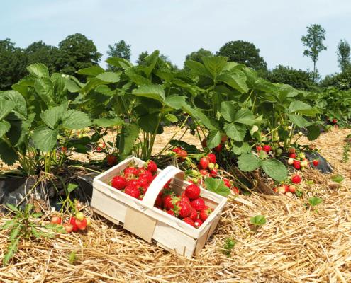 Körbchen mit frischen Erdbeeren direkt vom Feld in Oer-Erkenschwick im Kreis Recklinghausen